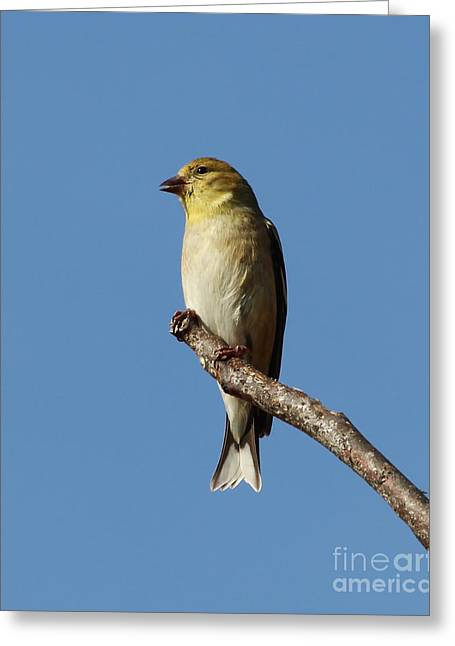 Goldfinch Perch Greeting Card