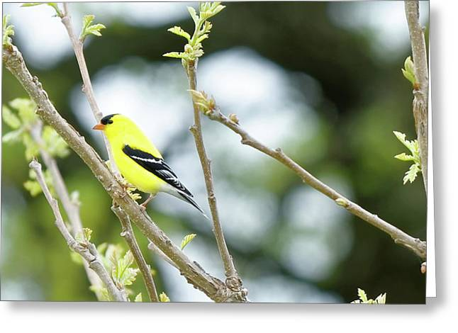 Goldfinch Greeting Card