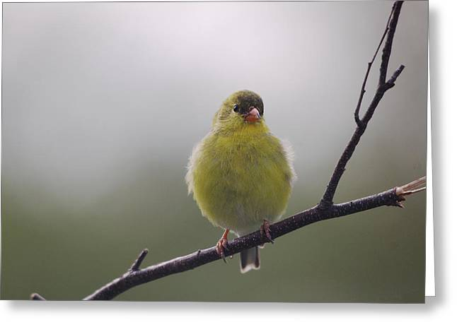 Greeting Card featuring the photograph Goldfinch Puffball by Susan Capuano