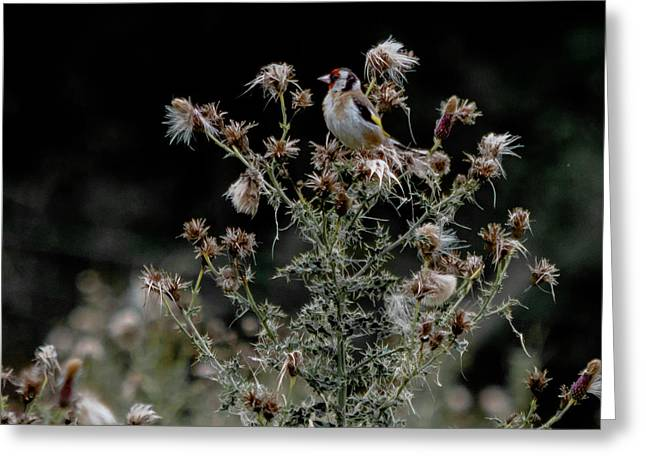 Goldfinch Sitting On A Thistle Greeting Card