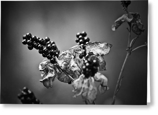 Gone To Seed Blackberry Lily Greeting Card by Teresa Mucha