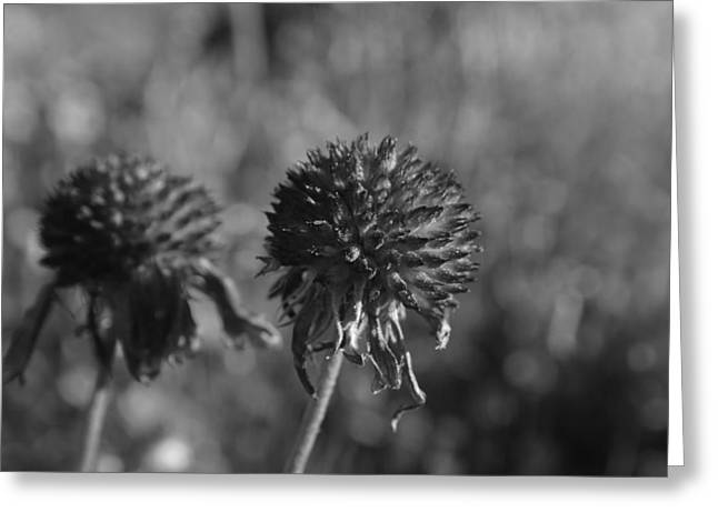 Gone To Seed Greeting Card by Michelle  BarlondSmith