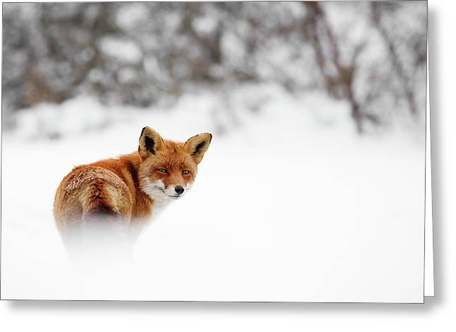Gonna Walk And Don't Look Back - Red Fox In The Snow Greeting Card