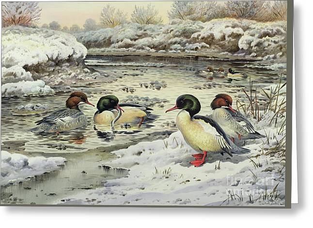 Goosanders Greeting Card by Carl Donner