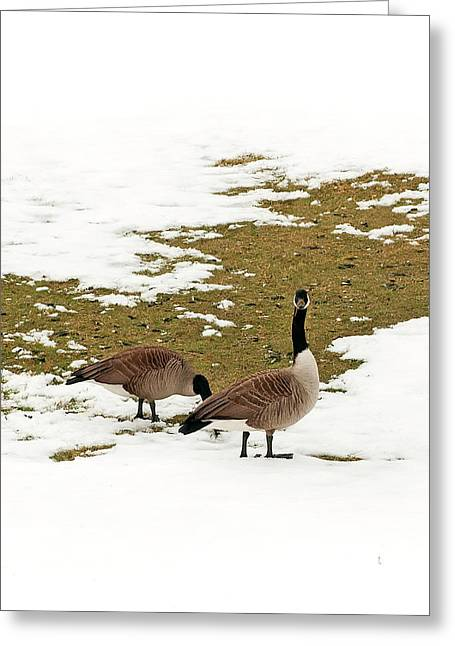 Geese Greeting Cards - Goose Gathering Greeting Card by Mandy Wiltse
