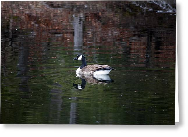 Goose On A Pond Greeting Card by Jeff Severson