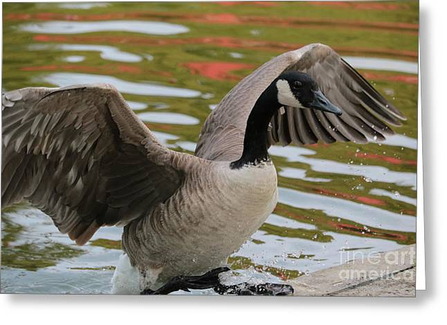 Goose Out Of Water Greeting Card