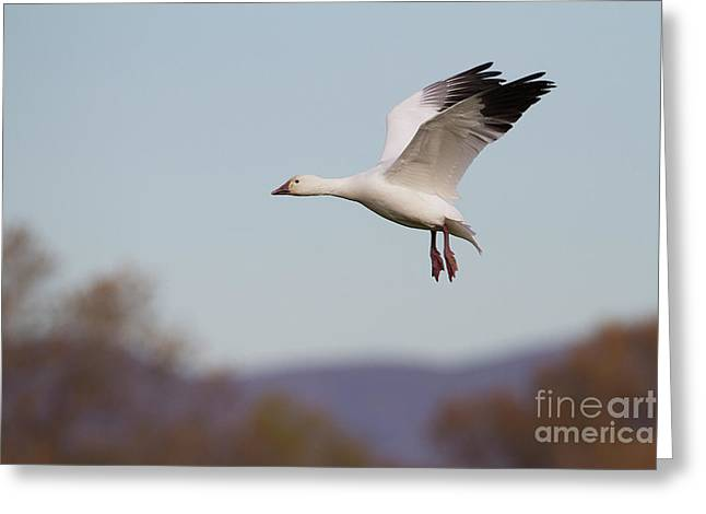 Goose Wings Up  Greeting Card