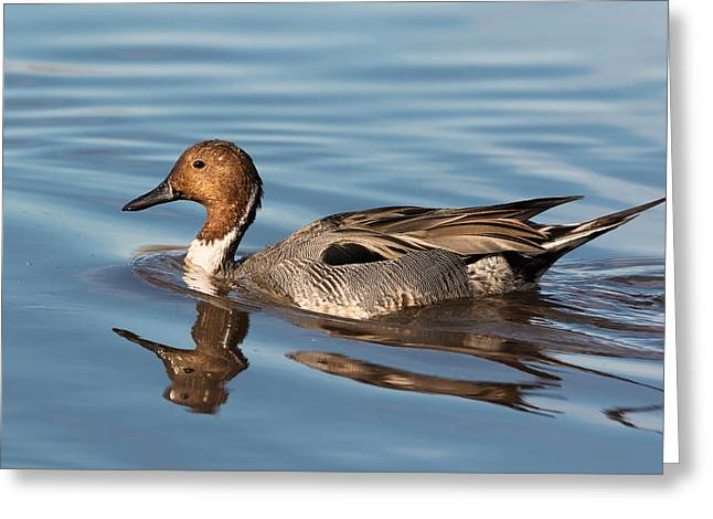 Gorgeous Northern Pintail Drake Greeting Card