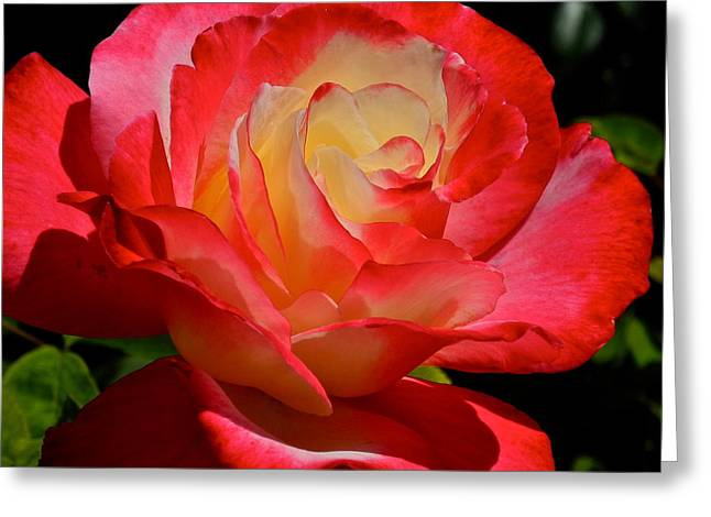 Gorgeous Rose In Coral And Yellow Greeting Card by Kirsten Giving