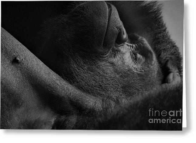 Gorilla Napping Greeting Card