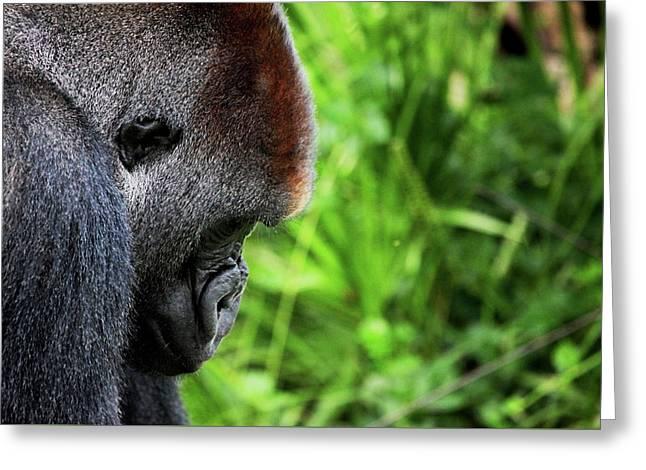 Gorilla Portrait Greeting Card by Dan Pearce