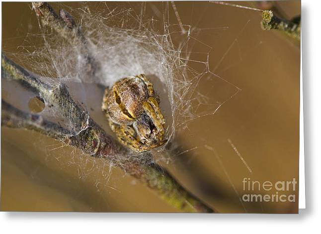 Gorse Orbweaver Greeting Card by Steen Drozd Lund