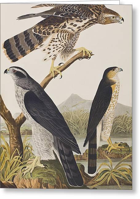 Goshawk And Stanley Hawk Greeting Card by John James Audubon
