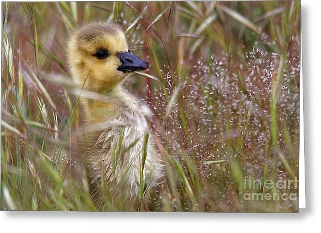 Gosling In The Meadow Greeting Card