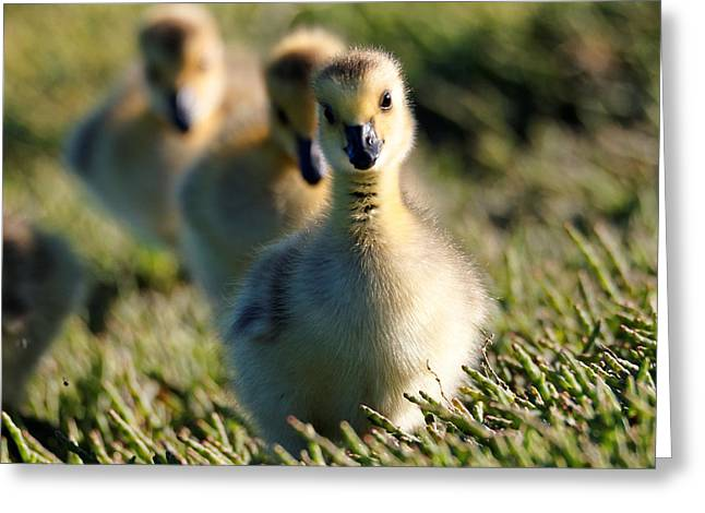 Gosling March Greeting Card