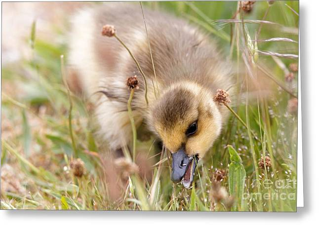 Gosling Nibble Greeting Card