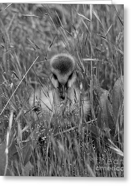 Greeting Card featuring the photograph Gosling Serenity by Sue Harper