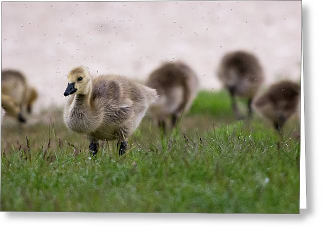 Gosling With Fleas Greeting Card