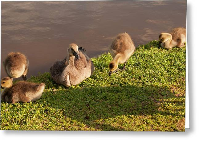 Goslings Basking In The Sunset Greeting Card by Chris Flees