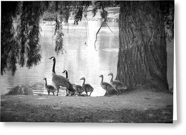 Goslings Bw7 Greeting Card by Clarice Lakota
