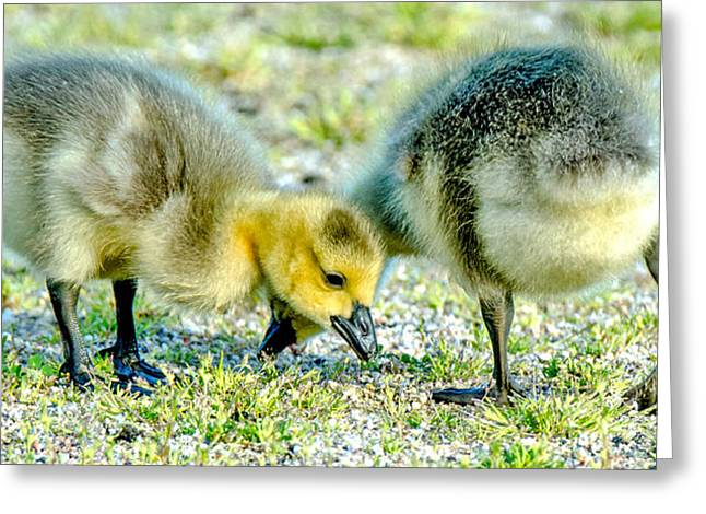 Greeting Card featuring the photograph Goslings Snacking by Steven Santamour