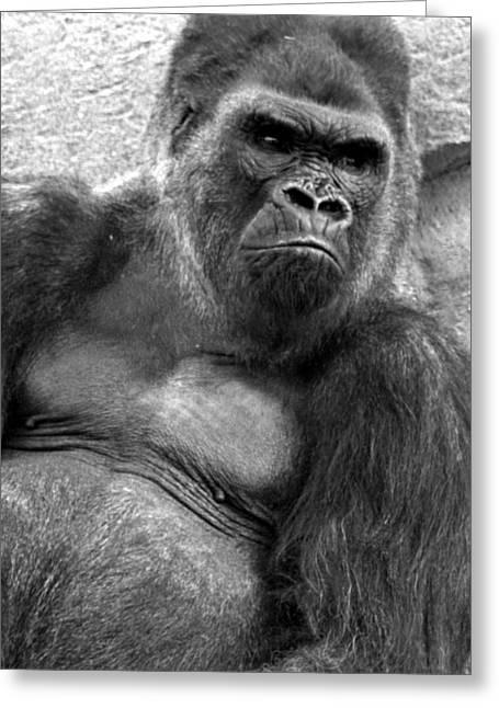 Gq Silverback Gorilla Greeting Card by Brad Scott