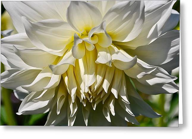 Graceful Dahlia  Greeting Card