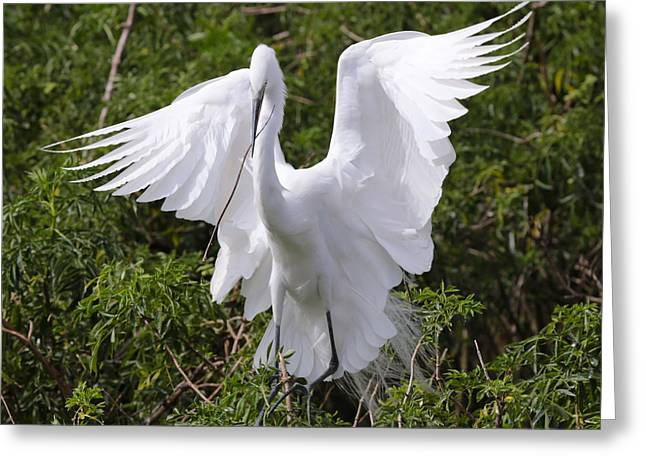 Graceful Egret Nest Builder Greeting Card by Carol Groenen