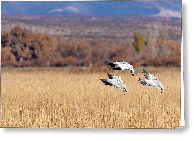 Graceful Landing - Snow Geese Greeting Card