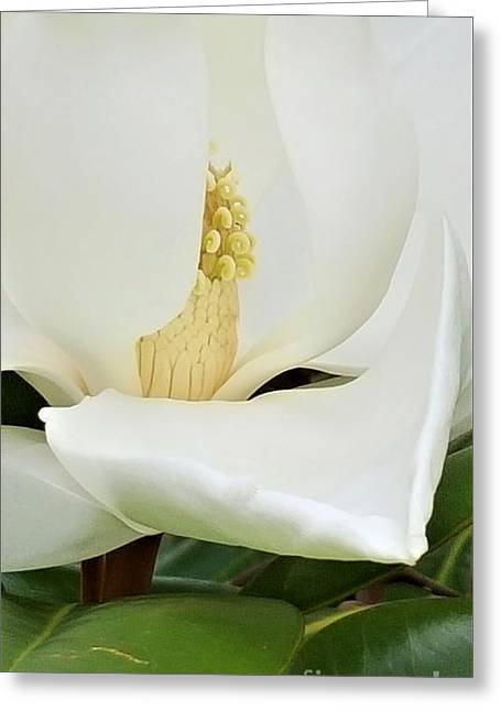 Grand Magnolia Greeting Card