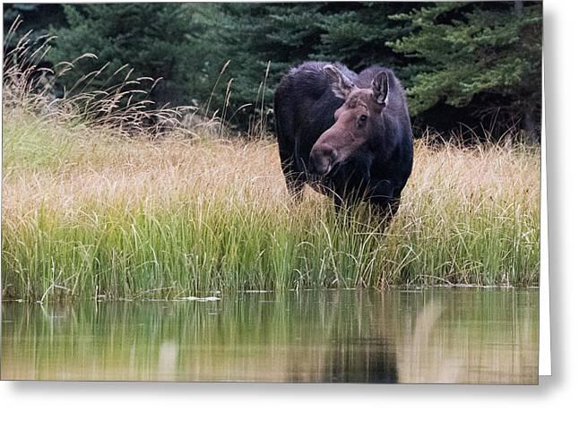 Grand Teton Moose Greeting Card