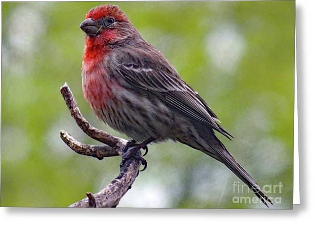 Grandeur - House Finch Greeting Card