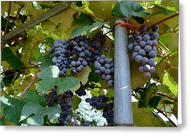 Grape Arbor 1 Greeting Card