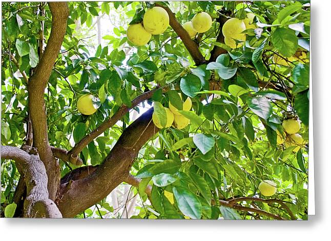 Greeting Card featuring the photograph Grapefruit Tree At Pilgrim Place In Claremont-california   by Ruth Hager