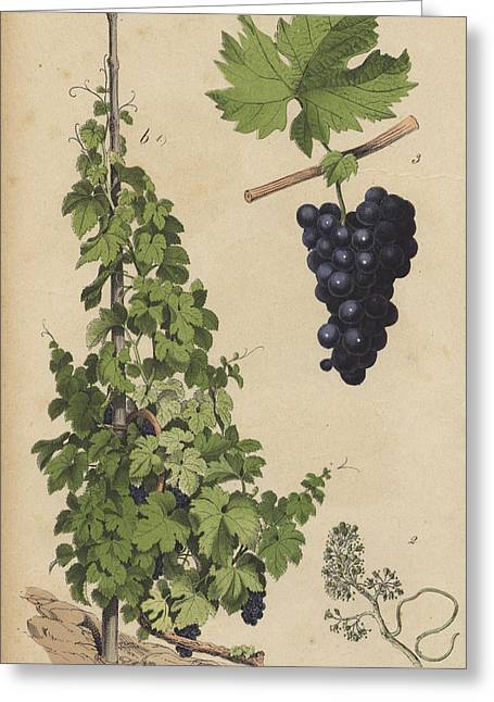 Grapes And Grape Vine Greeting Card