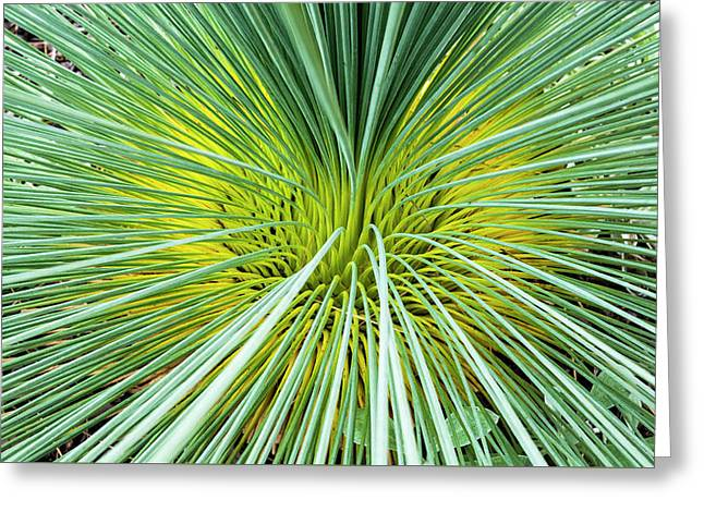 Grass Tree - Canberra - Australia Greeting Card by Steven Ralser