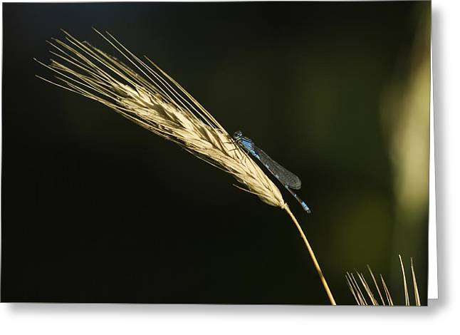 Grass With Blue Damsel Greeting Card by Thomas Young