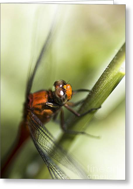 Grassblade Dragonfly Greeting Card by Jorgo Photography - Wall Art Gallery