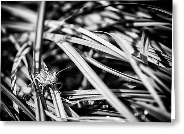 Grasshopper In The Grass, No. 1 Bw Greeting Card by Belinda Greb