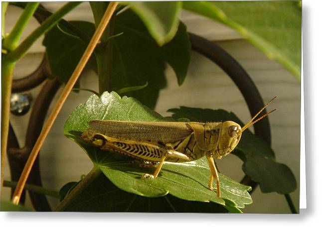 Grasshopper Greeting Card by John Julio