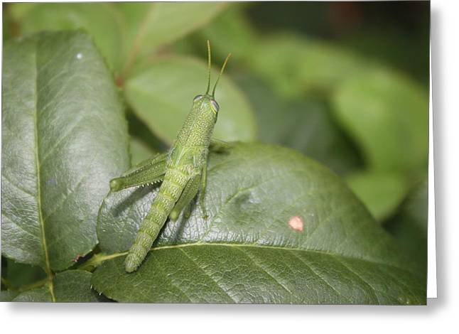 Grasshopper Greeting Card by Paula Coley
