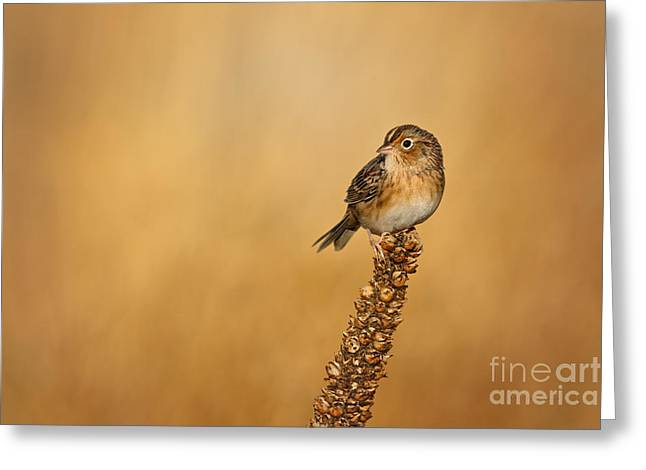 Grasshopper Sparrow - Fresh Fall Greeting Card by Beve Brown-Clark Photography
