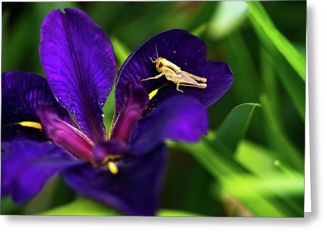 Grasshopper Visiting Iris Flower Greeting Card