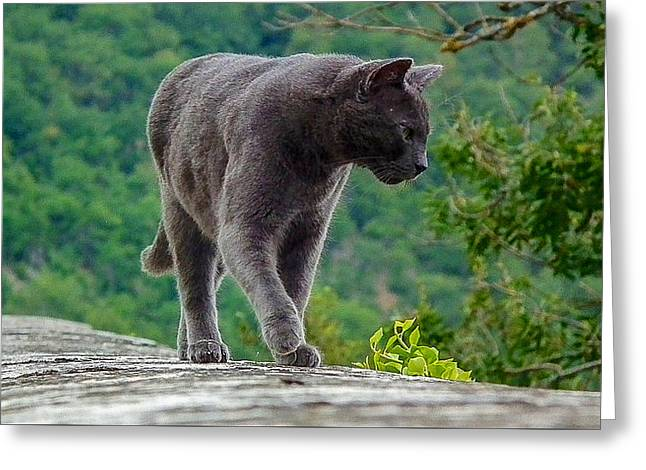 Gray Cat Stalking Greeting Card