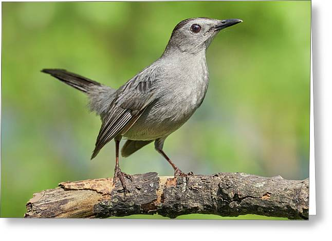 Gray Catbird   Dumetella Carolinensis Greeting Card