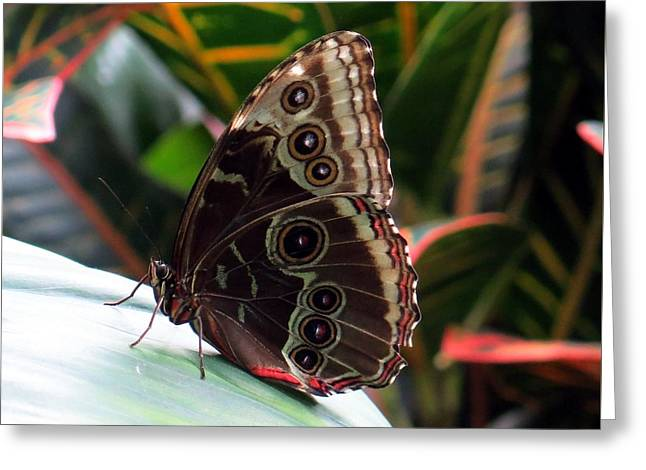 Gray Cracker Butterfly Greeting Card