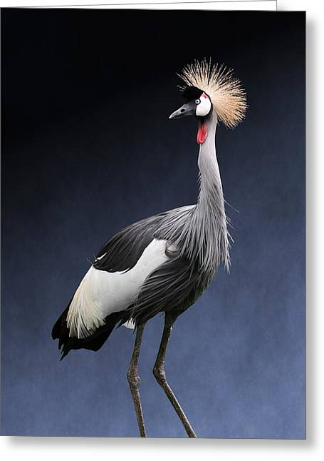 Gray Crowned Crane Greeting Card
