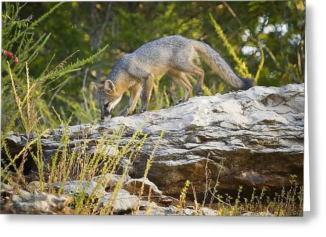Gray Fox Hunting The Bluff Greeting Card