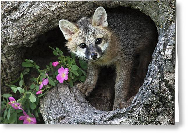 Gray Fox Kit Greeting Card